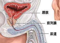 前列腺在哪,前列腺位置在哪